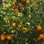 oranges-1117636_960_720.jpg